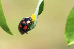 Ladybug. The close-up of a ladybug on grass leaf Royalty Free Stock Image