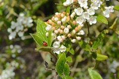 Ladybug. Close-up of a red ladybug on leaves Royalty Free Stock Image