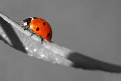 Ladybug closeup. Colorful ladybug closeup in a gray world stock photos