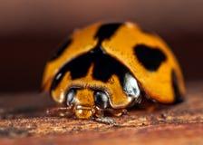 Ladybug. A closeup of a ladybug on wood Stock Photography