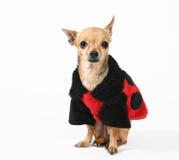 Ladybug coat Royalty Free Stock Images
