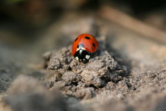 Ladybug/coccinella Immagini Stock