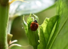 LadyBug [02] immagine stock