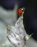Ladybug Coccinella magnifica Stock Photos
