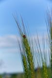 Ladybug  (Coccinella magnifica) on spica Royalty Free Stock Photo