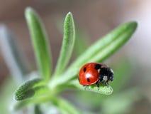 Ladybug Coccinella septempunctata). Macro photo of a seven-spot ladybird (or ladybug) Coccinella septempunctata on a lavender leaf Royalty Free Stock Photography