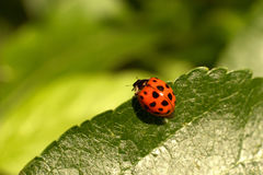 Ladybug / Coccinella septempunctata. Look into the depth / Ladybug on a leaf in an apple tree Royalty Free Stock Images