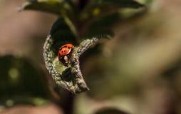 Ladybug Coccinella septempunctata. Red and black ladybug Coccinella septempunctata on a leaf Stock Image