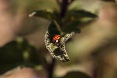 Ladybug Coccinella septempunctata. Red and black ladybug Coccinella septempunctata on a leaf Royalty Free Stock Photos