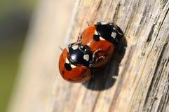 Ladybug - Coccinellidae fotografia stock