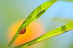 Ladybug (Coccinellidae) Royalty Free Stock Photo