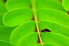 Ladybug (Coccinellidae) on green plant Stock Image