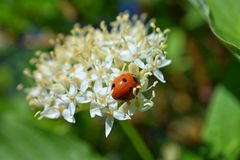 Ladybug Coccinellidae hunting aphids, greenfly or blackfly Aphidoidea on a Dogwood Cornus Cornaceae flower blossom closeup m stock photo