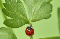 Free Ladybug Coccinellidae On Parsley Stem Stock Photo - 192417440