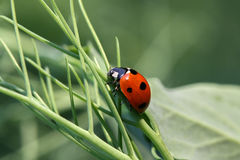 Ladybug Coccinellidae Stock Photos