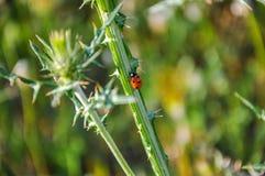 Ladybug (coccinellidae) on wild thistle (carduus). Royalty Free Stock Image