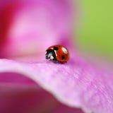 Ladybug on a colorful flower Stock Image