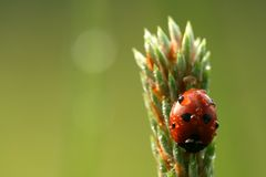 Ladybug com gotas do orvalho fotografia de stock royalty free
