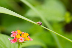 Ladybug with Common lantana. Ladybug on grass face to Common lantana flower Royalty Free Stock Photos