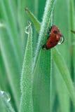Ladybug con di rugiada di goccia la parte posteriore sopra Immagine Stock Libera da Diritti