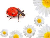 Ladybug con la camomilla Immagini Stock