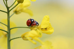 Ladybug couple on a rapeseed plant Royalty Free Stock Image