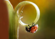 ladybug crawling on a blade of grass stock images