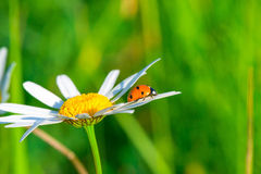 Ladybug crawling on a daisy Royalty Free Stock Image