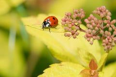 Ladybug crawling on a decorative flowers bush Royalty Free Stock Images