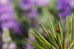 Ladybug crawling down pine needles. In front of a blurred purple field of lupine Royalty Free Stock Photo