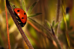 Ladybug. Crawling down a plant stem Royalty Free Stock Images