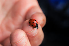 Ladybug Crawling on a Child's Fingers Royalty Free Stock Photos
