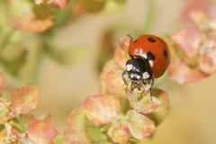 Ladybug crawling on a flowers bush Royalty Free Stock Images