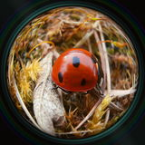 Ladybug crawling in grass in objective lens Royalty Free Stock Photos