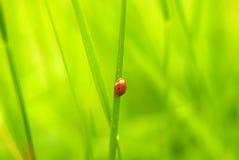Ladybug crawling on grass. Summertime Stock Images