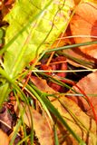 Ladybug crawling on green grass in dry leaves royalty free stock photography