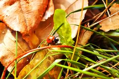 Ladybug crawling on the green grass stock photo