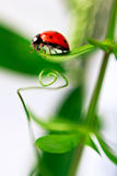 Ladybug is crawling about the green leaves Royalty Free Stock Image