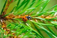 Ladybug crawling on a pine Stock Images