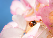 Ladybug Crawling on Pink Flower Blossoms. A ladybug is crawling on pink flower blossoms Stock Image