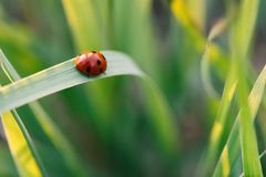 Ladybug crawling on the stalks of grass. Beautiful green background with shallow depth of field. Detailed macro shot stock photos