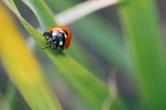 Ladybug crawling on the stalks of grass. Beautiful green background with shallow depth of field. Detailed macro shot royalty free stock images