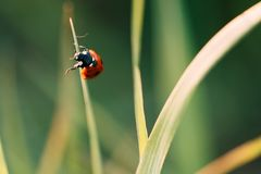 Ladybug crawling on the stalks of grass. Beautiful green background with shallow depth of field. Detailed macro shot royalty free stock photography