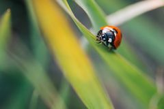 Ladybug crawling on the stalks of grass. Beautiful green background with shallow depth of field. Detailed macro shot royalty free stock photos