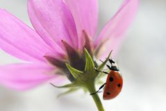 Close-up of a ladybug on a pink flower stock photography