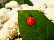 Ladybug crawling on white chrysanthemum leaves Royalty Free Stock Photography