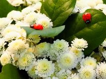 Ladybug crawling on white chrysanthemum leaves Royalty Free Stock Image