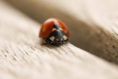 Ladybug crawling on wooden surface. Front view. Macro close up. Stock image stock photos