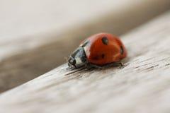 Ladybug crawling on wooden surface. Macro close up. Stock image stock images
