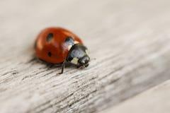 Ladybug crawling on wooden surface. Macro close up. Stock image royalty free stock photo